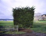 Hedge in Port Authur Tasmania 2004